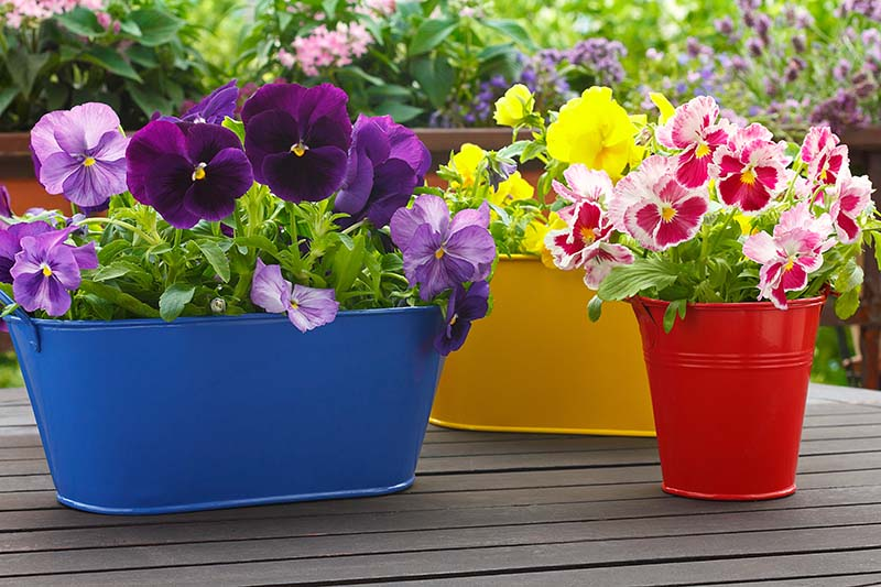 A collection of colorful metal pots with a variety of violet flowers in bloom, set on a wooden surface, with a garden scene in soft focus in the background.