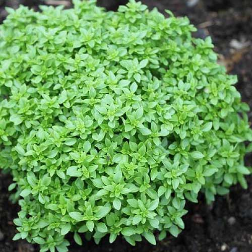 A close up of 'Spicy Globe' basil growing in the garden with soil in soft focus in the background.