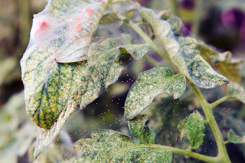 A close up of the leaves of a tomato plant covered in red spider mites on a soft focus background.