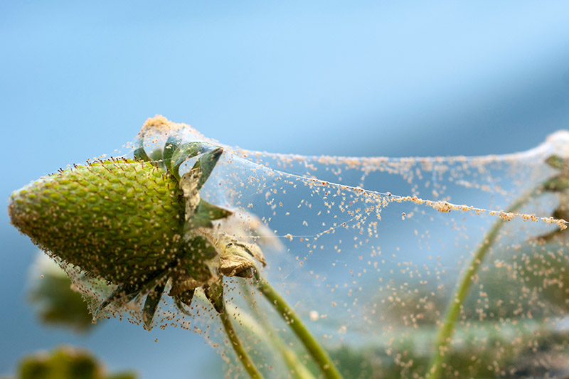 A close up of spider mites making a web on a small green, unripe strawberry plant on a blue soft focus background.