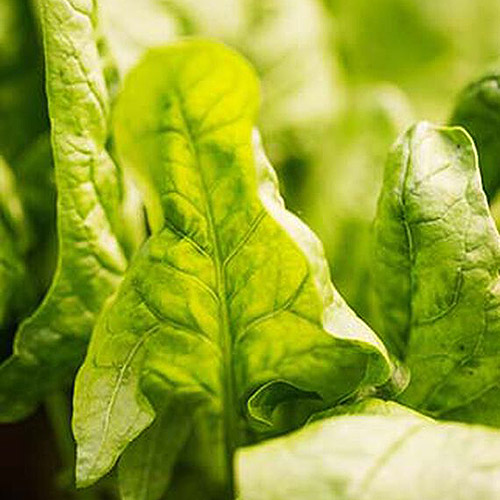 A close up of the bright green leaves of 'Double Take' spinach, fading to soft focus in the background