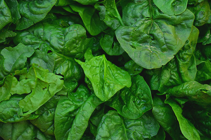 A close up background picture of dark green spinach leaves.