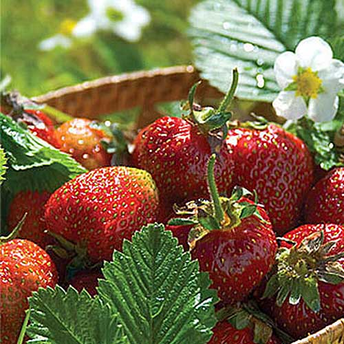 A close up of a bowl containing 'Jewel' strawberries, pictured in bright sunshine with a white flower in the background in soft focus.
