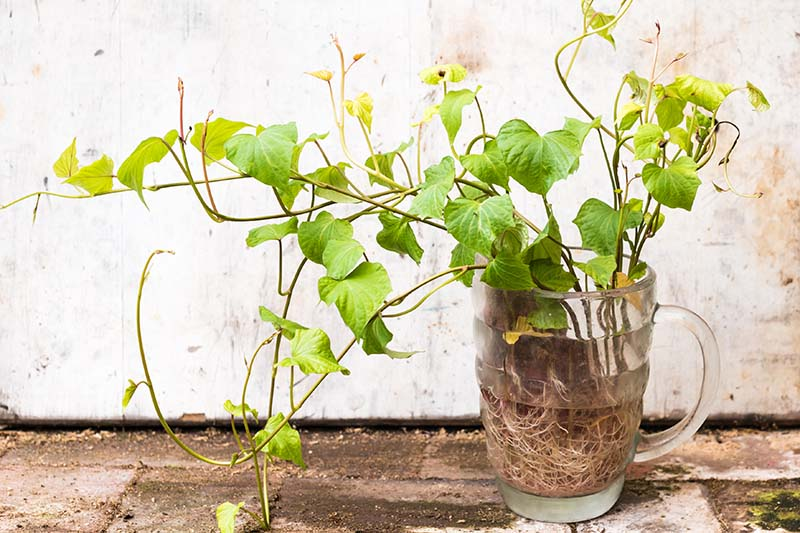 A close up of a glass containing water and a sweet potato root that has sprouted leaves and shoots with a rustic wall in the background.