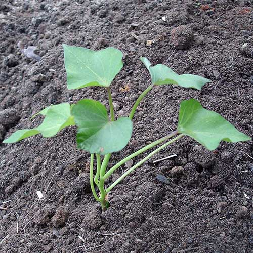 A close up of a small sweet potato shoot growing in the garden in rich dark soil.