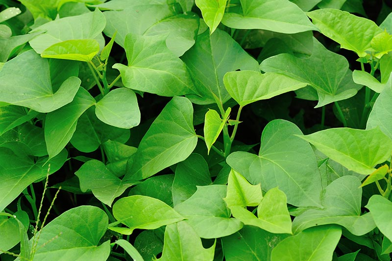 A close up of sweet potato greens growing in the garden on a dark soft focus background.