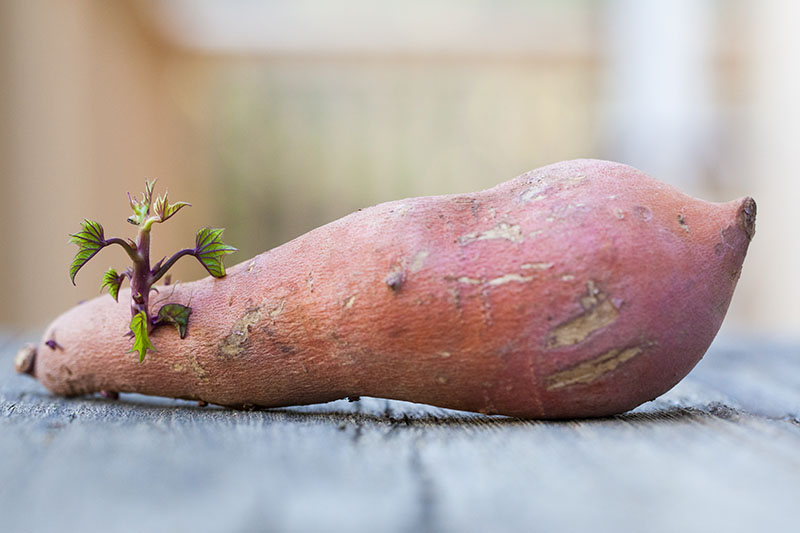 A close up of a sweet potato starting to sprout, set on a gray surface on a soft focus background.