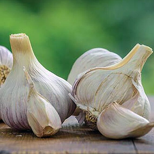 A close up of the dried bulbs of the 'Texas Rose' garlic set on a wooden surface on a green soft focus background.