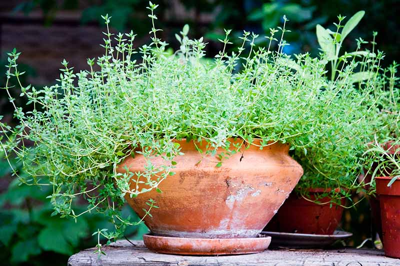 A close up of a terra cotta pot on the patio growing thyme on a soft focus background.