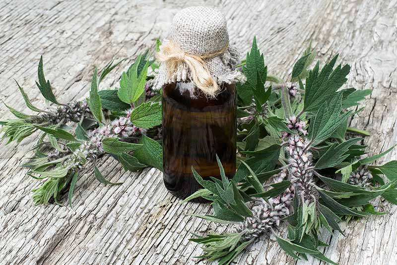 A close up of a small opaque tincture bottle containing Leonurus cardiaca, with the fresh herbs surrounding it set on a rustic wooden surface.