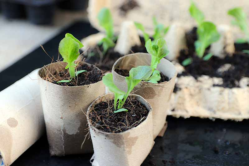 A close up of homemade seed starter pots from toilet paper rolls containing small green sprouts on a soft focus background.