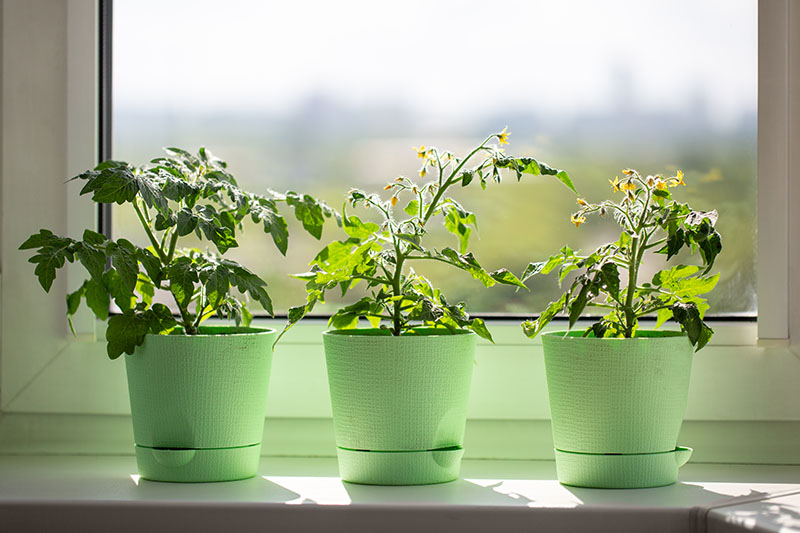 A close up of three green planters containing young plants set on a sunny windowsill in light sunshine.