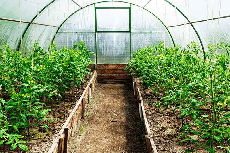 A close up of two rows of tomatoes growing in a large domed greenhouse with condensation on the walls and a pathway in between the rows.