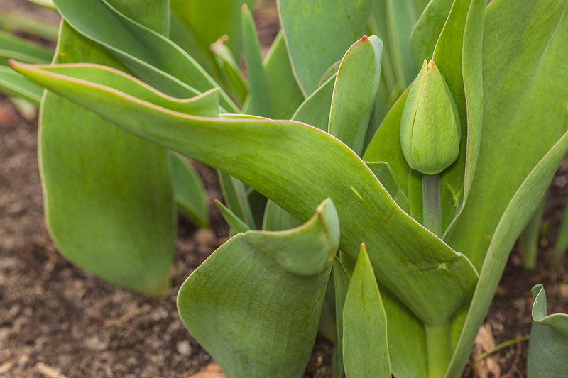 A close up of the green foliage of a tulip before the flower bud has opened on a soft focus background.