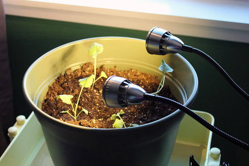 A close up of a small plastic pot containing seedlings set under two grow lights.