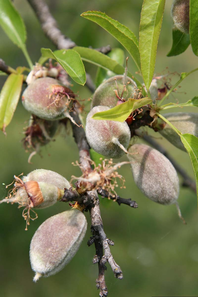 A vertical close up picture of unripe almonds growing on the tree where the hull has not started to split.