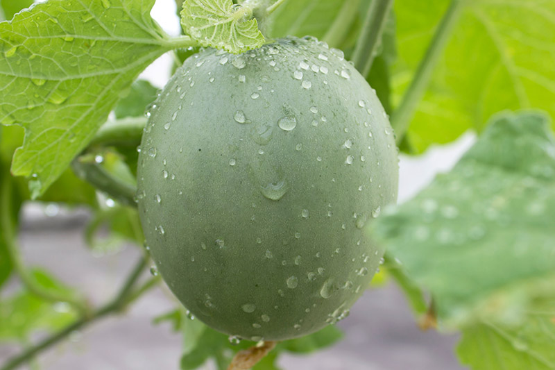 A close up of an unripe cantaloupe melon growing on the vine, covered in water droplets with foliage in soft focus in the background.