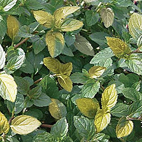 A close up of the variegated leaves of Mentha 'Variegata' growing in the garden pictured in bright sunshine.