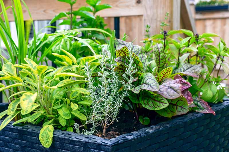 A close up of a variety of herbs growing in a raised garden bed with a wooden fence in the background in soft focus.