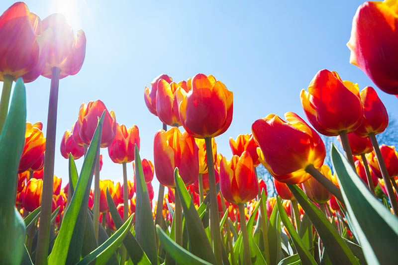 A close up of red and yellow tulips with green foliage pictured from below in bright sunshine with a blue sky background.