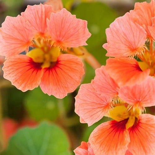 A close up of the salmon pink flowers of Tropaeolum 'Vesuvius' on a soft focus background.