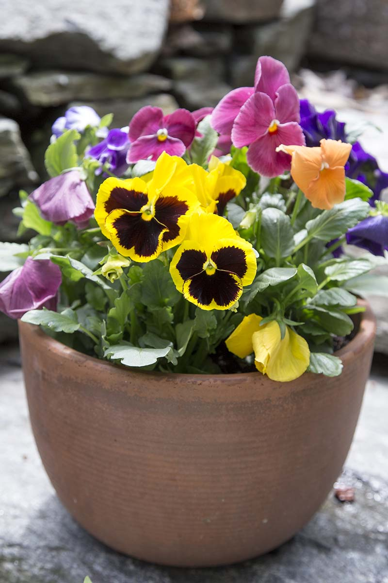 A vertical picture of a terra cotta pot containing pansies in full bloom, set on a gray surface, on a soft focus background.
