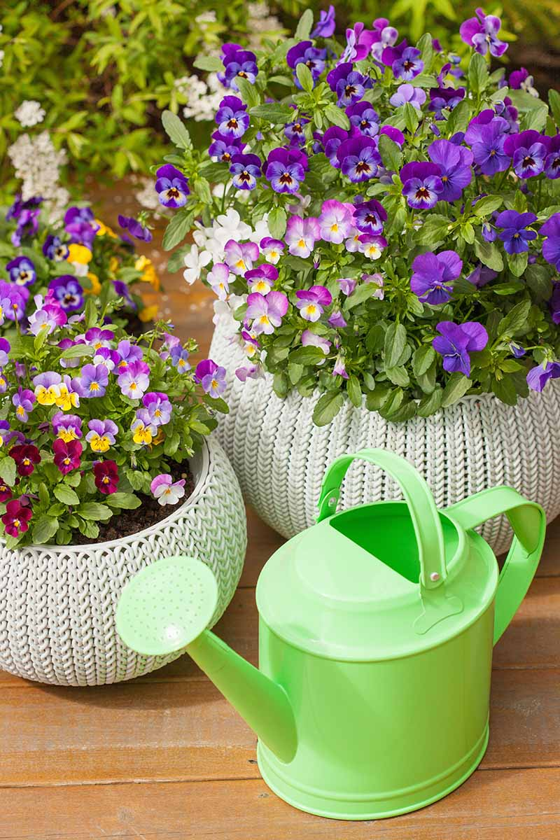 A vertical picture with two small decorative pots containing pretty violet flowers in a variety of colors, set on a wooden surface, with a green watering can in the foreground.