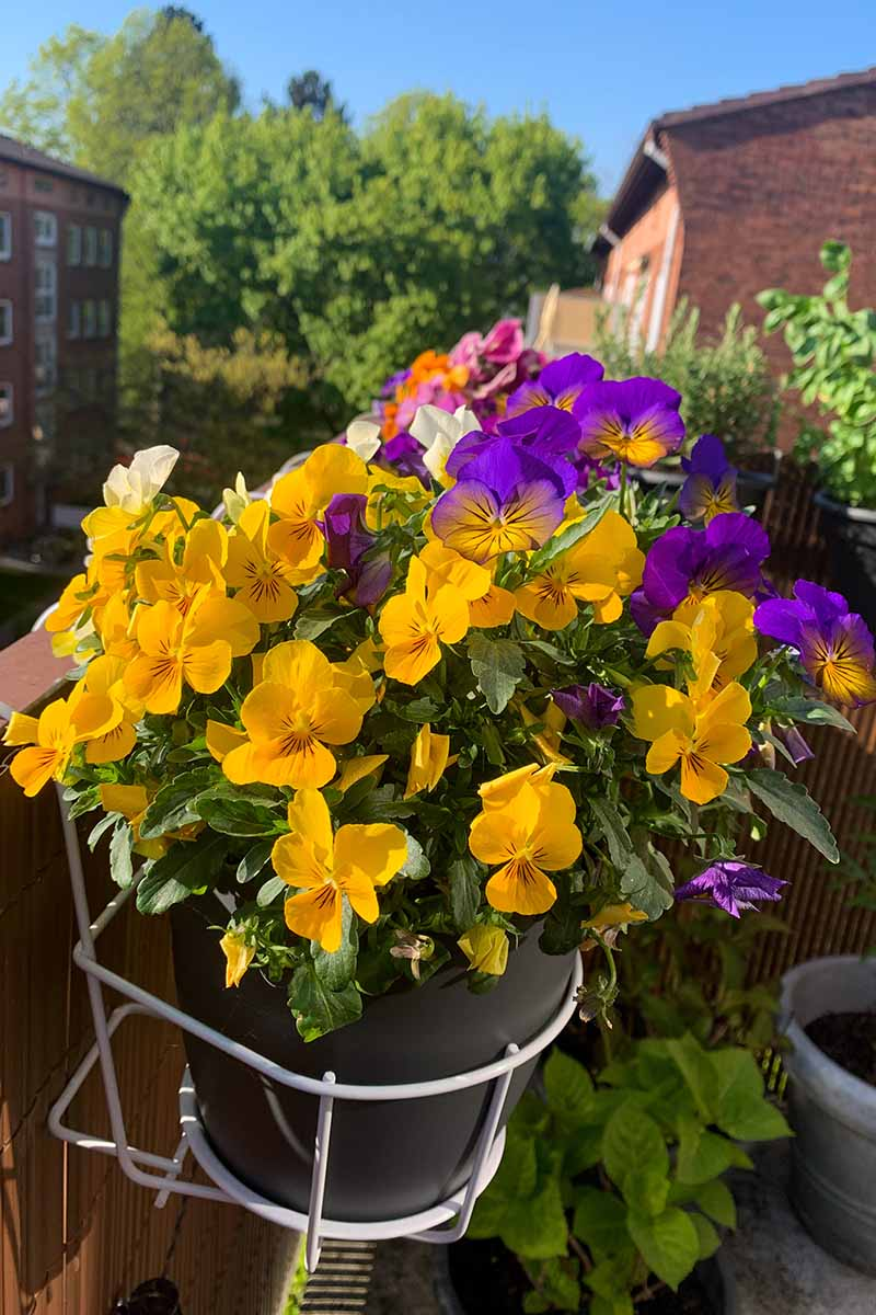 A close up vertical picture of brightly colored pansies growing in pots o a balcony, with blue sky and buildings in soft focus in the background.