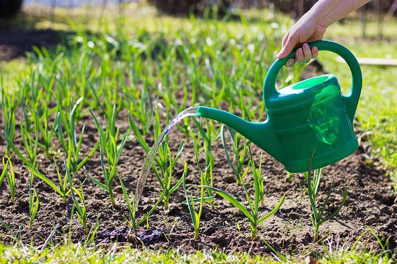 A close up of a hand from the right of the frame holding a green watering can irrigating a bed of garlic in bright sunshine. In the background is a garden scene in soft focus.