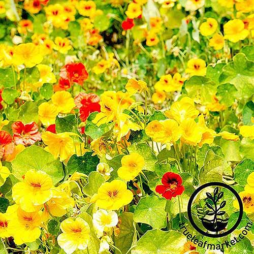 A close up of the bright yellow and red flowers of Tropaeolum 'Whirlybird' cultivar, growing in the garden in bright sunshine. To the bottom right of the frame is a black circular logo and text.