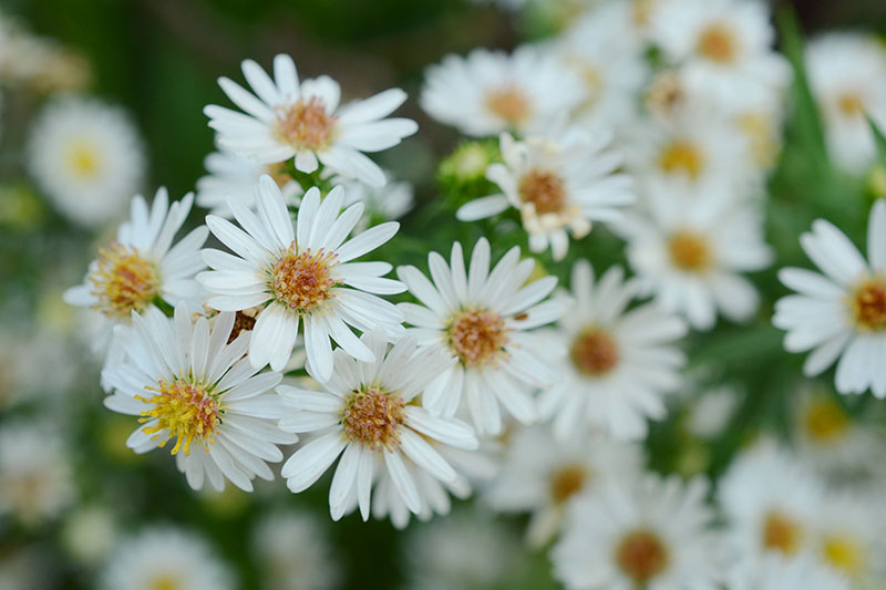 A close up of white chamomile flowers with yellow centers on a soft focus background.