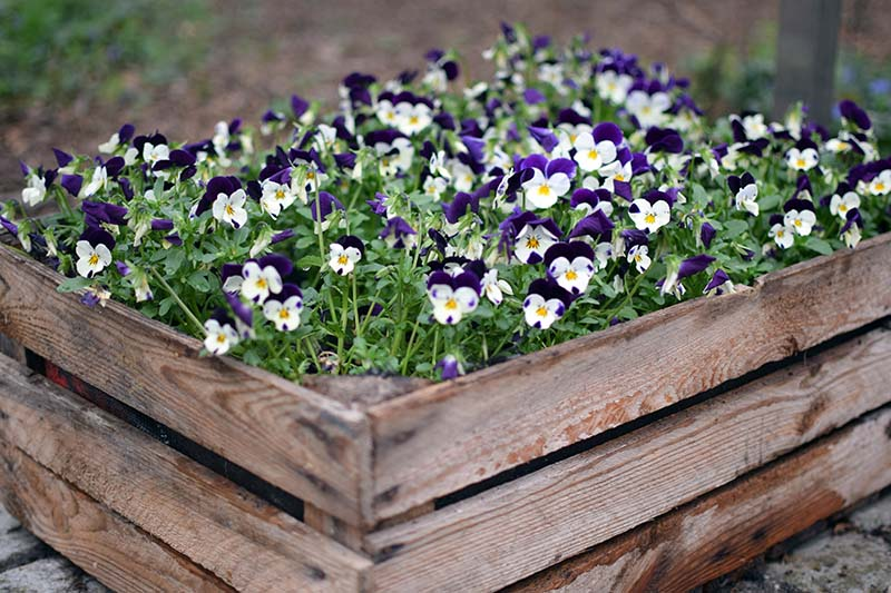 A close up of a wooden container with small pansies in full bloom creating a carpet of bright color and foliage, on a soft focus background.