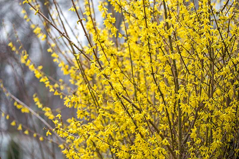 A close up of the upright branches of the forsythia shrub, adorned with yellow flowers in the springtime, growing in the garden on a soft focus background.