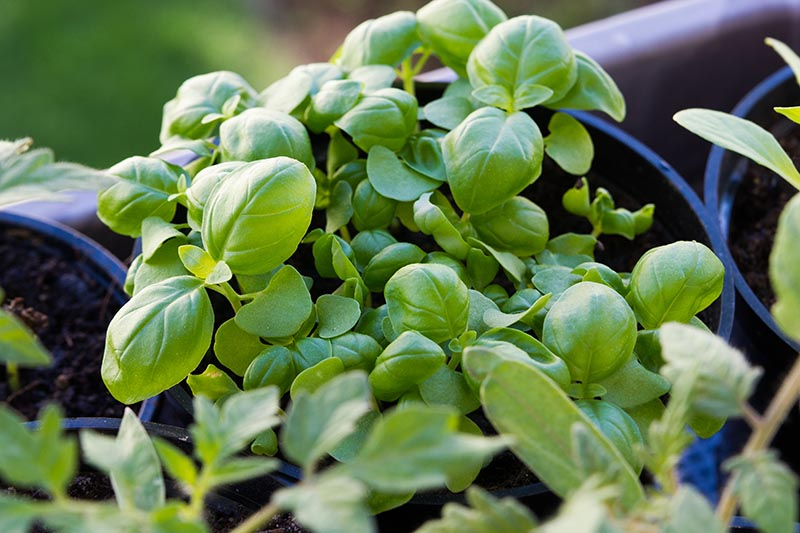A close up of young basil plants growing in small blue pots on a soft focus background.