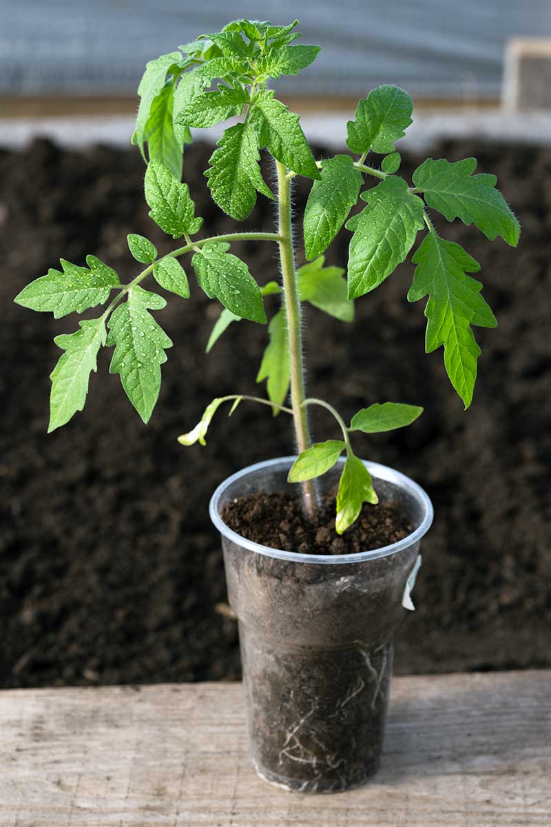 A close up vertical picture of a young tomato plant in a small pot ready to be transplanted into the garden set on a wooden surface. In the background is soil in soft focus.
