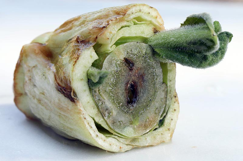 A close up of the base of a lettuce that has gone rotten set on a white surface on a white background.