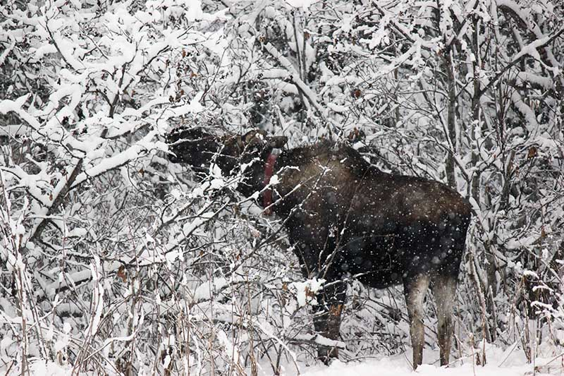 A close up of a snowy garden scene with a large moose feeding from a tree.