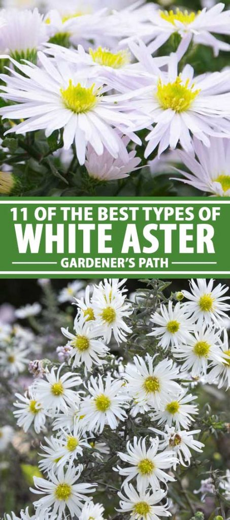 A collage of photos showing various types of white aster flowers in bloom.
