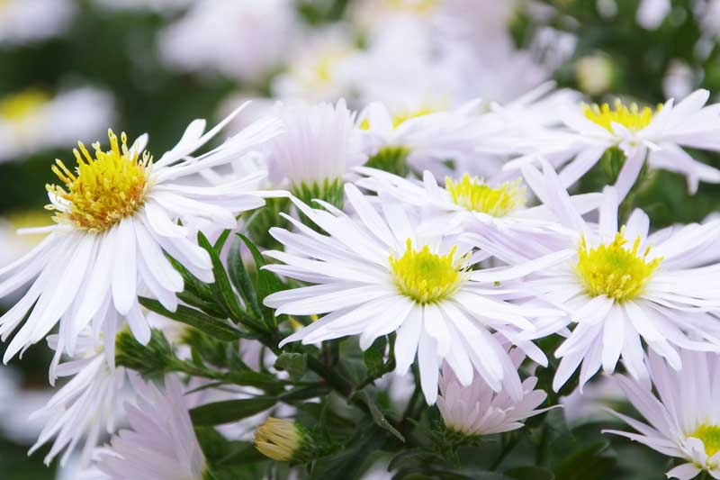 Close up of white petaled aster flowers in bloom.