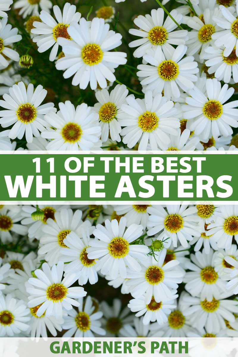 Top down view of white aster flowers in bloom.
