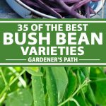 A collage of photos showing various types of bush beans.