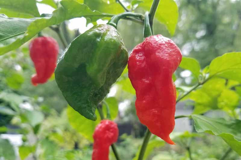 A close up of two ghost peppers attached to the plant. One is green, meaning that it is not yet ripe, and the other red, ready for harvest. The fruits are surrounded by foliage and pictured on a soft focus background.