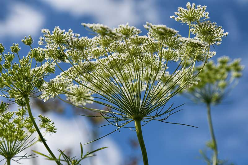 A close up of a flower head pictured from below, in bright sunshine on a blue sky background.