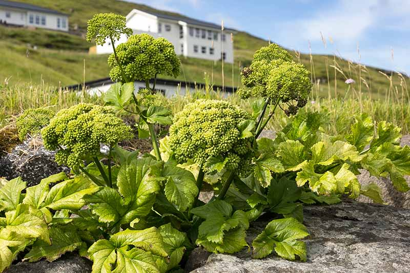 A close up of a small angelica plant growing in a rocky area of a garden with houses in soft focus in the background and blue skies and clouds.
