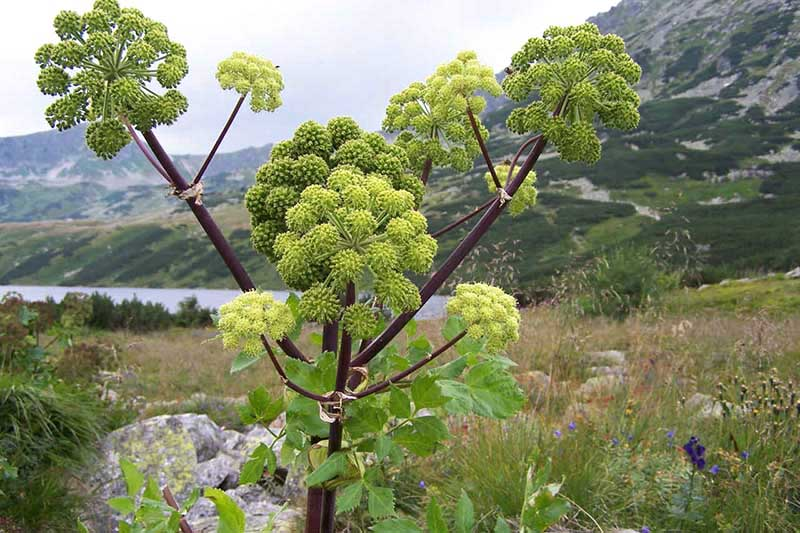 A large angelica plant with green foliage, purple stems, and large flower heads pictured growing on the side of a lake with mountains in soft focus in the background.