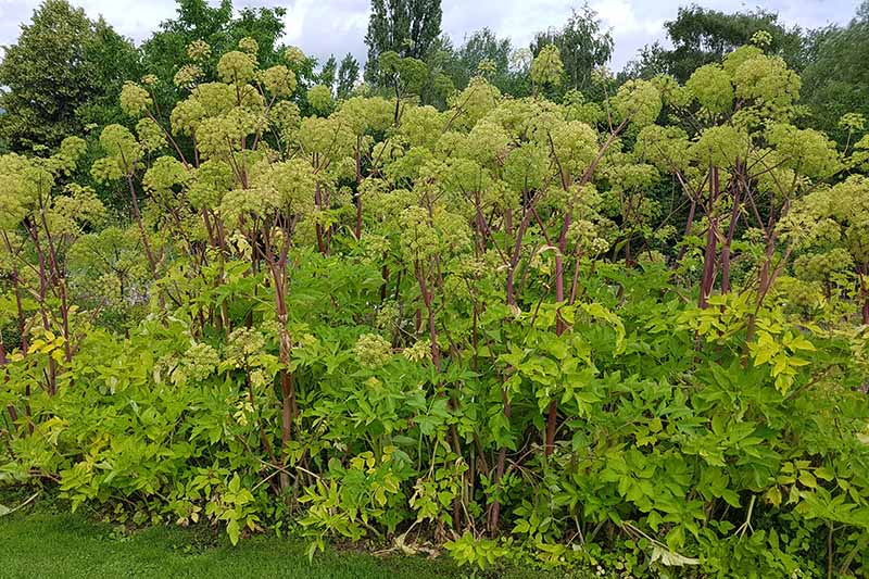 A large patch of Angelica archangelica with purple stems and bright green umbels growing in the garden with trees in the background.