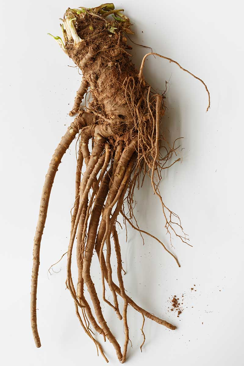 A close up vertical picture of the freshly harvested root of the angelica plant on a white background.