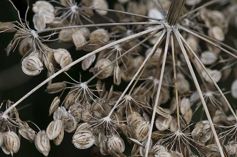 A close up of dried seeds on the top of a flower head ready for collection, pictured on a soft focus background.