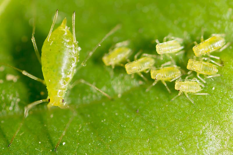 A close up of aphids on a green leaf showing a large adult and a number of immature insects.