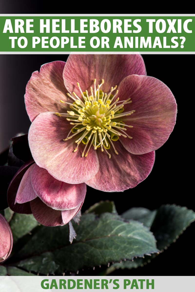 Close up of a purple-pink hellebore flower and green leaves on a black background.